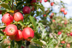Apple harvest Royalty Free Stock Photo