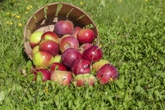 Apple Harvest. In a commercial apple orchard Royalty Free Stock Image
