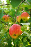 Apple harvest in a garden Royalty Free Stock Photography