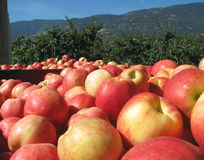Apple Harvest in the Okanagan. Bins of apples are picked and ready for packing near an orchard in the Okanagan Valley of BC Royalty Free Stock Photo