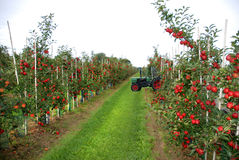 Apple harvest. Harvest in apple orchard in atumn Royalty Free Stock Photography