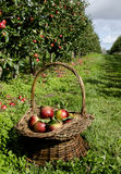 Apple harvest Royalty Free Stock Image