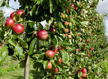 Apple harvest Royalty Free Stock Photos