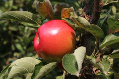 Apple harvest. In the orchard on the tree Stock Image