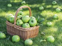 Apple harvest. Ripe green apples in the basket on the green grass royalty free stock photos