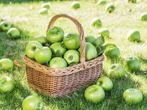 Apple harvest. Ripe green apples in the basket on the green grass stock photography