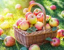 Apple harvest. Ripe red apples in the basket on the green grass stock photography