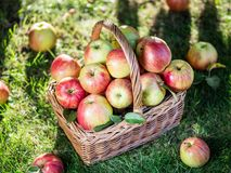 Apple harvest. Ripe red apples in the basket on the green grass royalty free stock images