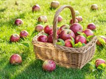 Apple harvest. Ripe red apples in the basket on the green grass stock images