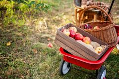 Apple harvest. Ripe red apples in the basket on the green grass. royalty free stock image
