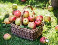 Apple harvest. Ripe red apples in the basket on the green grass. stock image