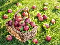 Apple harvest. Ripe red apples in the basket on the green grass. royalty free stock photos