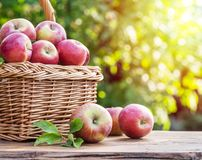 Apple harvest. Ripe red apples in the basket on the table stock photo