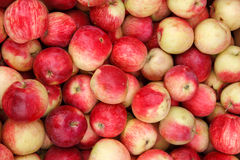 Apple harvest season Royalty Free Stock Photo