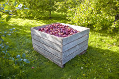 Apple harvest Time Royalty Free Stock Photography