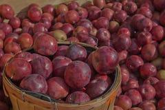 Apple Harvest Time in Quebec Stock Image