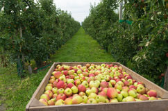Apple harvest Stock Images