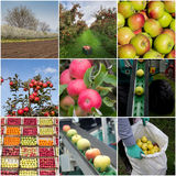 Apple harvesting collage. Collage of apples, in orchard, in crates and harvesting process Royalty Free Stock Photo