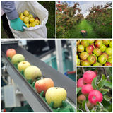 Apple harvesting. Collage of apple harvesting process in square Stock Photo