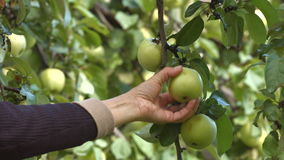 Apple harvesting. Slow motion. Horizontal pan. Tree branch with apples close up. Female hands tore from branch apple and put his in a basket stock video footage