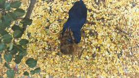 Apple harvesting among the yellow leafs. Top view. A girl with baskets of apples comes to a tree and tears off apples stock video