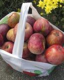 Apple-het plukken in Massachusetts Stock Fotografie