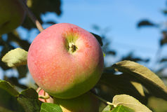 Apple-het rood van Paula van de boomboomgaard Royalty-vrije Stock Afbeeldingen