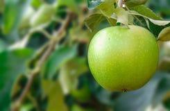 Apple i en tree royaltyfria foton