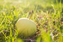 Apple i gräs i solljus Fotografering för Bildbyråer