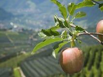 Apple i södra tyrol Arkivbild