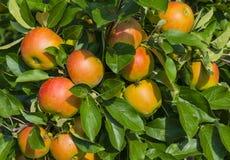 Apple i träd Royaltyfri Foto