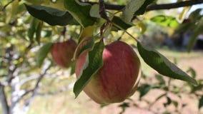 Apple i trädet lager videofilmer