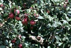 Apple Idared op een tak van een boom Royalty-vrije Stock Afbeeldingen