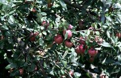Apple Idared op een tak van een boom Stock Foto's