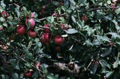 Apple Idared op een tak van een boom Royalty-vrije Stock Fotografie