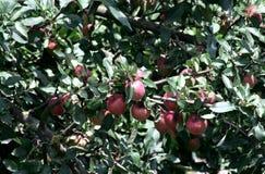 Apple Idared op een tak van een boom Stock Afbeeldingen