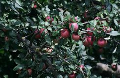 Apple Idared op een tak van een boom Royalty-vrije Stock Foto