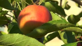 Apple is illuminated by the setting sun stock video footage