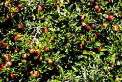 Apple im Baum stockfotografie
