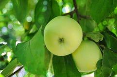 Apple im Blatt- und Sonnegrellen glanz Stockfotos
