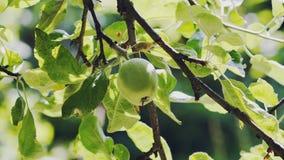 Apple im grünen Baum stockfotografie
