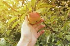 Apple im Sonnenlicht im Garten Stockfotos