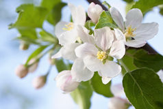 Apple inflorescence. In sunshine -  pink apple blossoms Royalty Free Stock Photography
