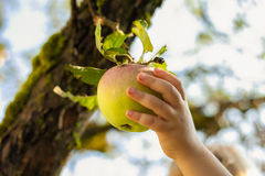 Apple kid hand. Apple kid child hand achive vegetarian healthy fresh stock photography