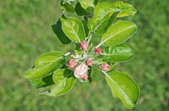 Apple-Knospen stockbilder