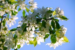apple kwiat Obraz Royalty Free