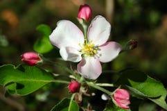 apple kwiat Zdjęcie Royalty Free