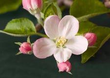 apple kwiat Fotografia Royalty Free
