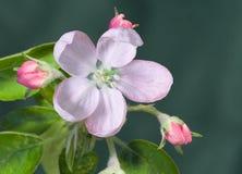 apple kwiat Zdjęcie Stock