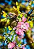 Apple kwiaty, wiosny okwitnięcie Zdjęcia Stock